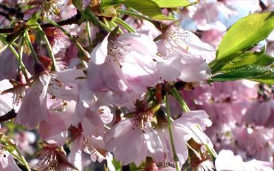 Accolade flowering cherry blossom