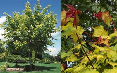 Acer Aureum