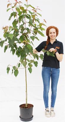 Acer davidii George Forrest maple tree