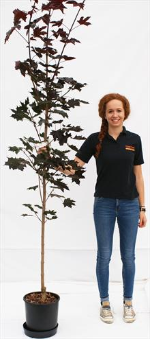 Acer Pla Crimson King maple tree
