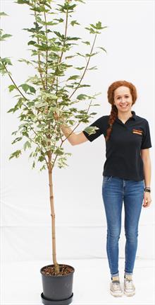 Acer Pla Drummondii maple tree