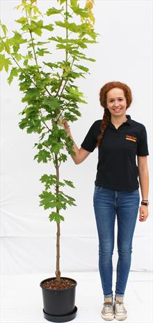 Acer Pla Princeton Gold maple tree