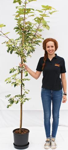 Acer Pse Simon-Louis-Freres maple tree