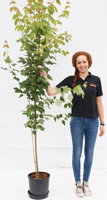 Acer rubrum Scanlon