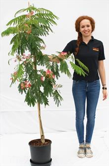 Albizia Jul Ombrella silk tree