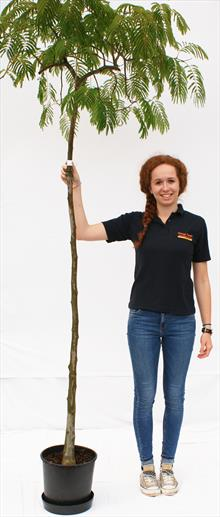 Albizia Jul Shidare silk tree