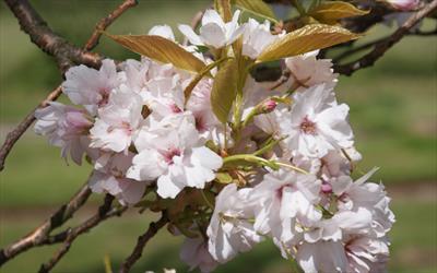 Amanogawa cherry blossom