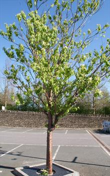 Prunus maackii amber beauty flowering cherry tree for sale for Cherry trees for sale