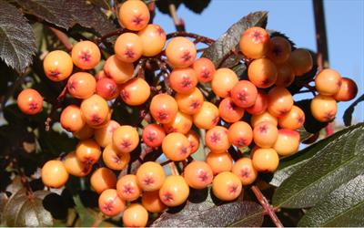 Amber Light berries