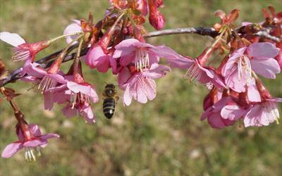Bee on Prunus Kursar blossom