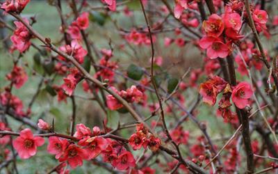 Beni-chidori hedging