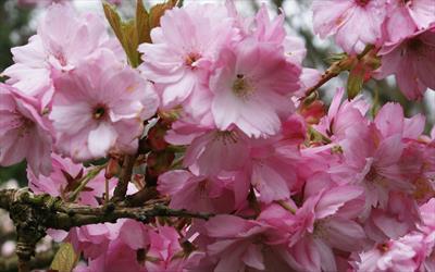Beni-yutaka pink cherry blossom