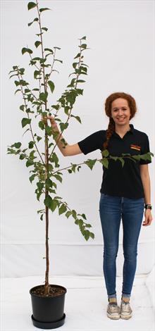 Betula alba Fascination birch tree