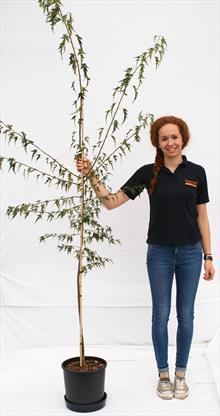 Betula Pen Dalecarlica silver birch
