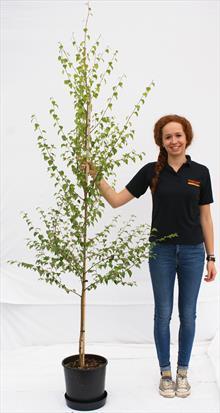 Betula Pen Golden Beauty silver birch tree