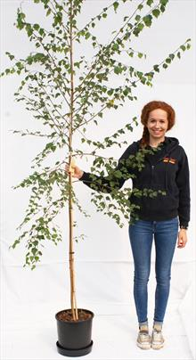Betula Pen Tristis silver birch