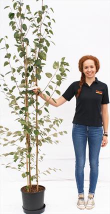 Betula Uti Snow Queen Multistem birch tree