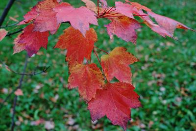 Brandywine maple leaves