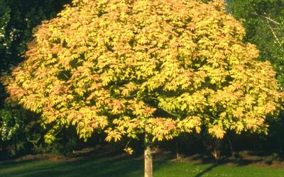Image result for Acer pseudoplatanus