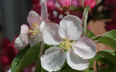 Butterball crab apple blossom