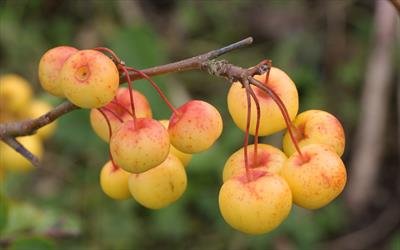 Butterball crab apple