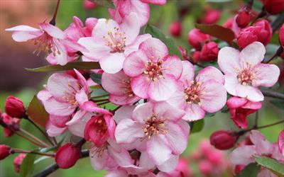 Candy-mint crab apple blossom