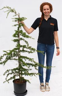 Cedrus Libani cedar tree