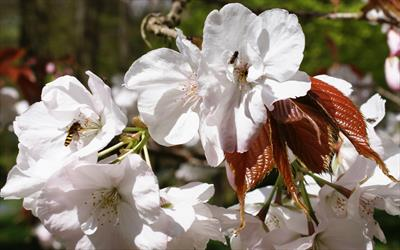 Chocolate Ice cherry blossom