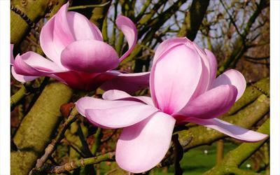 Copeland Court magnolia flower
