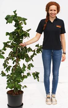 Corylus Ave Contorta hazel tree