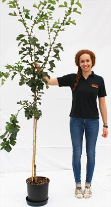 Crataegus Pin Raj Big Golden Star hawthorn