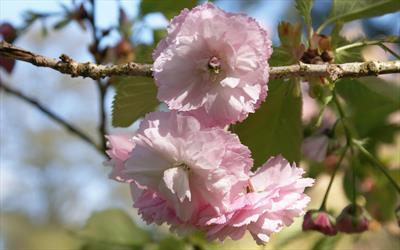 Daikoku cherry blossom