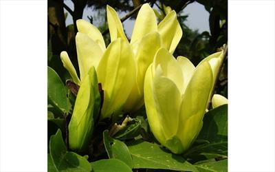 Daphne magnolia blossom