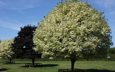 Drummondii maple tree