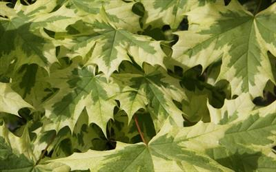 Acer Platanoides Drummondii Maple Trees For Sale