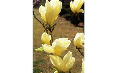 Elizabeth magnolia blossom