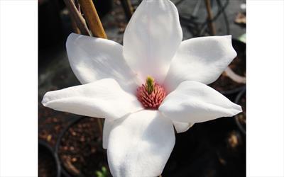 Eskimo magnolia blossom
