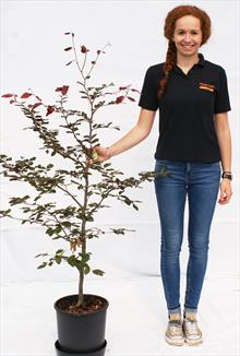 Fagus Syl Purpurea beech tree