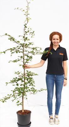 Fagus Sylvatica beech tree