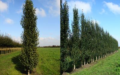 Fastigiata Joes columnar silver birch trees