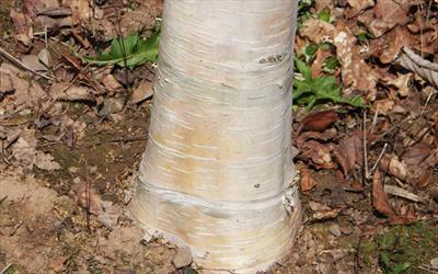 Fastigiata Joes silver birch bark