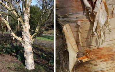 Fetisowii birch tree