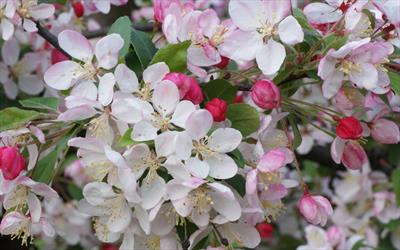 Floribunda crab apple blossom