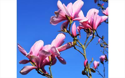 Galaxy magnolia blossom