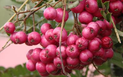 Glendoick Spire berries
