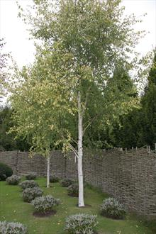 betula pendula golden beauty birch trees for sale. Black Bedroom Furniture Sets. Home Design Ideas