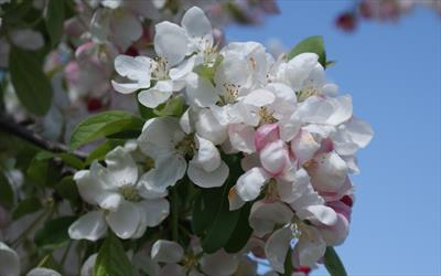 Golden Gem crab apple blossom