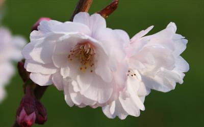 Hally Jolivette flowering cherry blossom