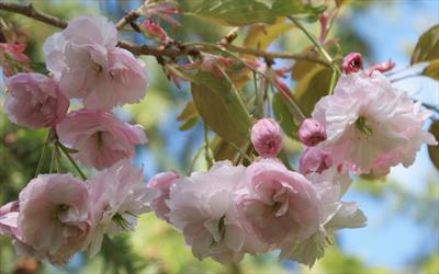 Hanagasa flowering cherry blossom
