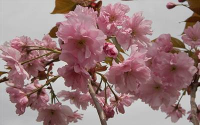 Hokusai flowering cherry